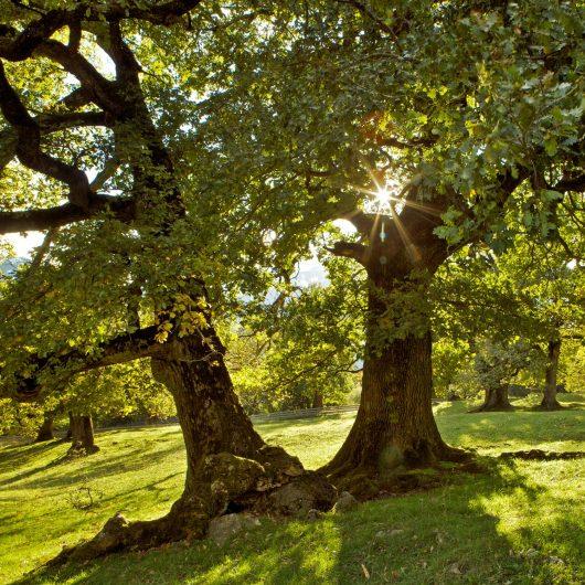 zwei-Eichen-im-Sommer-Sonnenstrahlen-scheinen-durch-die-Blätter